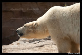 Flocke Polar bear 6125.jpg