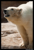 Flocke Polar bear 6164.jpg