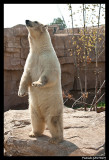 Flocke Polar bear 6172.jpg