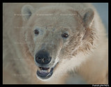 Flocke Polar bear 6206.jpg