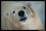 Flocke Polar bear 6207.jpg
