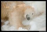 Flocke Polar bear 6340.jpg