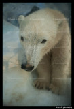 Polar bear Flocke 6344.jpg