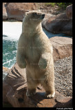 Raspoutine Polar bear 5794.jpg
