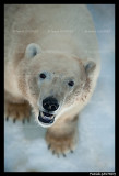 Polar bear Flocke 6200.jpg