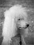 Her royal poodleness