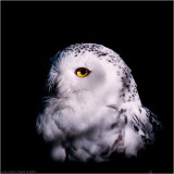 Snowy owl from 2007
