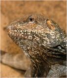 Frillneck Lizard, Clamydosaurus kingii