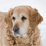 Nina, 15 years old golden retriever