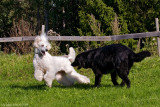 15/9 Bonnie had a great time running around and teasing poor Ivar today.