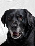 Zamba, svart labrador retriever
