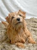 Bling, norfolk terrier