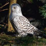snow owl 3 900.jpg