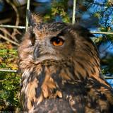 eagle owl 3 900.jpg