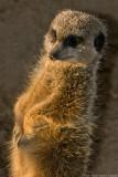 meerkat sunbathing 2 700.jpg
