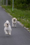 The lavitating poodle, who no dog can outrun!)