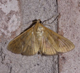hahncappsie mancalis moth