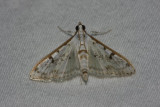 Palpita atrisquamalis - Hodges # 5220