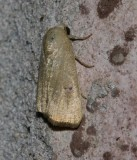 Bagisara sp. - maybe B. repanda - Hodges #9168