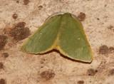 Chloraspilates bicoloraria - Hodges # 6700
