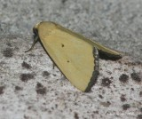 Thioptera nigrofimbria