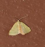 Chloraspilates bicoloraria - Hodges # 6700 female