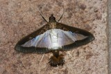 Diaphania hyalinata - Hodges # 5204 - Melonworm Moth