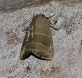 Bagisara sp. probably B. rectifascia