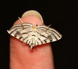 Conchylodes ovulalis - Hodges #5292 - Zebra Conchylodes Moth