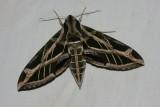Eumorpha vitis - Hodges # 7864 - Vine Sphinx
