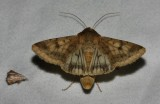 Helicoverpa zea - Corn Earworm Moth