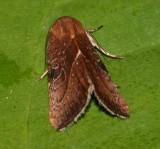 9688 - Galgula partita (female)