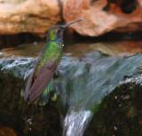 green violet ear hummingbird