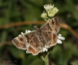 Texas Powdered Skipper