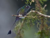 IMG_7995.jpg Booted Racket-tail