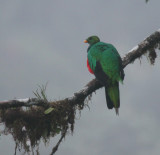 IMG_9260  crested quetzal.jpg