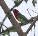 IMG_9492   red headed barbet male.jpg