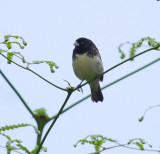 IMG_9637.jpg  Yellow-bellied Seedeater