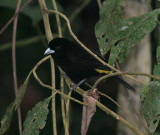 IMG_9641.jpg  Flame-rumped tanager male