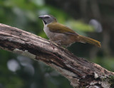 IMG_9653.jpg  Buff-throated Saltator