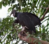 IMG_9781black vultures.jpg