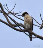 IMG_9804 laughing falcon.jpg