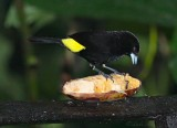 IMG_9834.jpg Lemon-rumped Tanager