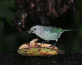 IMG_9836.jpg Blue-grey Tanager