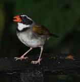 IMG_9840.jpg  Orange-billed sparrow