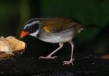 IMG_9841.jpg Orange-billed sparrow