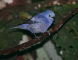 IMG_9858.jpg  Blue-gray Tanager