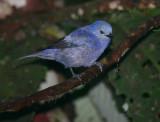 IMG_9858.jpg  Blue-gray Tanager