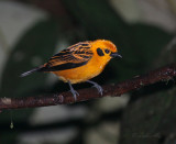 IMG_9864.jpg   Golden Tanager
