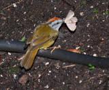 IMG_9938.jpg  Russet-crowned Warbler